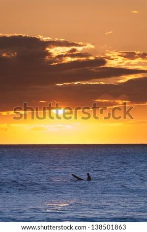 A lone surfer at sunset, Maui, Hawaii, USA - stock photo