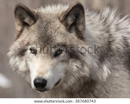 A lone Timber Wolf in winter - stock photo