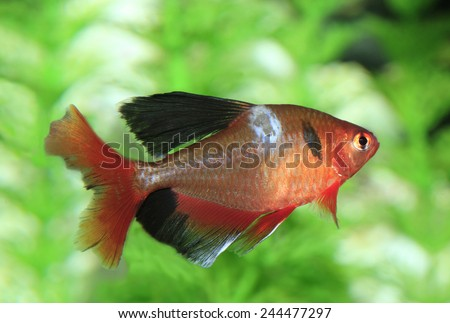 A Long Finned Surpe Tetra with an Investation of Aquatic Fungi - stock photo