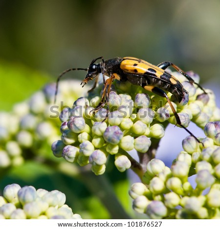 A long horn beetle scales a hydrangea flower! - stock photo