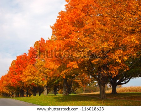 A long row of trees next to a road, displaying vibrant orange foliage on a bright day in autumn. A dried cornfield stands in the background. - stock photo