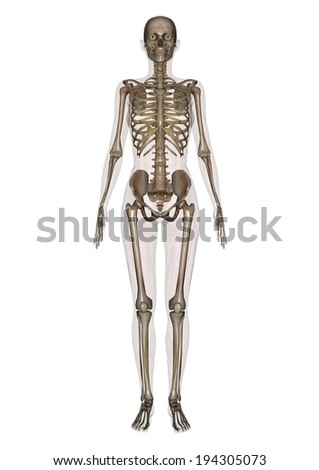 A long shot view of a full skeleton. - stock photo