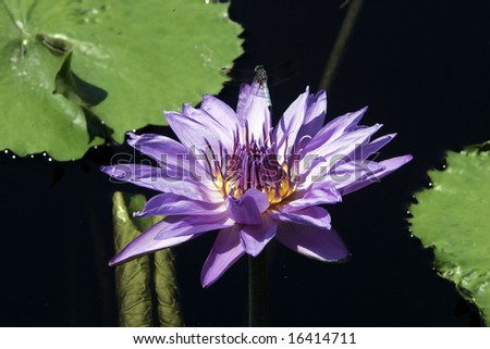 A Longwood Hybrid Aquarius Waterlily with a Dragonfly - stock photo