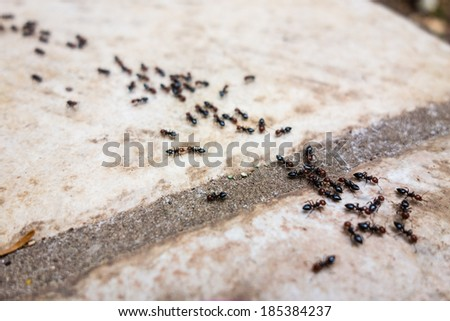 a lot of ants traveling in a row on the pavement - stock photo