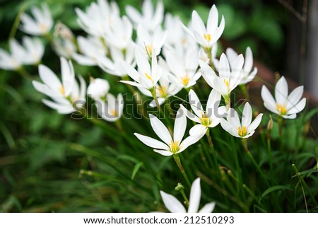 a lot of beautiful rain lily (Zephyranthes) - stock photo
