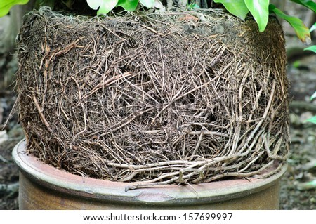 a lot of many tree root on the top of flowerpot - stock photo