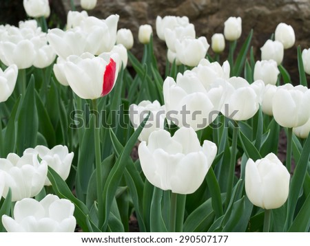 A lot of white tulips and one of them with single red petal - stock photo