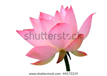 a lotus flower isolated on white - stock photo