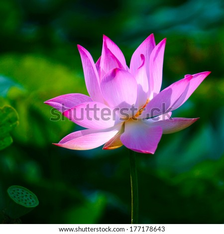 a lotus  in the swamp - stock photo
