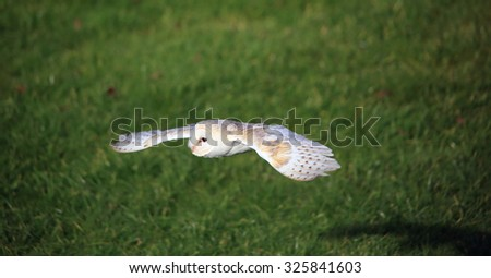 A lovely Common Barn Owl, also known as Barn Owl, in flight - stock photo