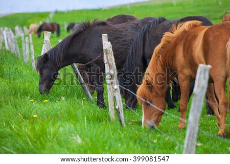 A lovely  Icelandic Horse in afield on sunny day - stock photo