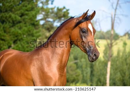 A lovely medium body shot of a bay arabian horse or filly - stock photo