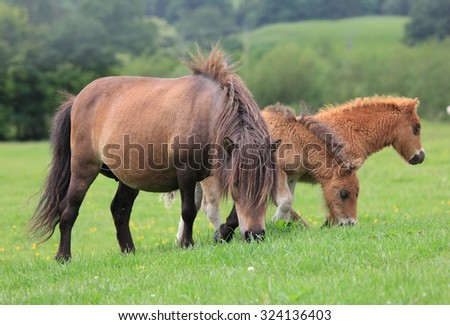 A lovely Shetland Pony family in a green field eating grass - stock photo