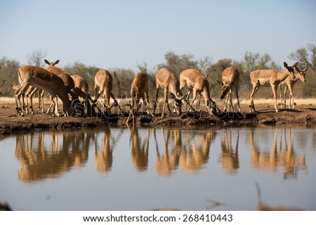 A low angel, horizontal, colour photo of a herd of thirsty impala ewes drinking, and their reflections in the water. - stock photo