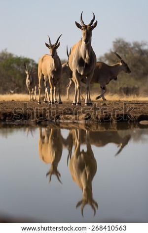 A low angle, vertical, colour photograph of a herd of eland, and their reflections, staring into the camera in the waterhole. - stock photo
