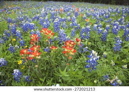 A low angle view of Indian Paintbrush and Bluebonnets wildflowers in a Texas field - stock photo