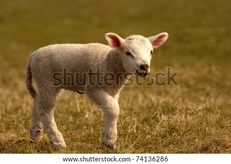 A low perspective of a lamb walking in a field - stock photo