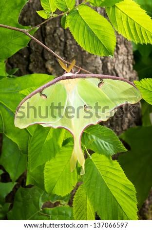 A Luna Moth (Actias luna) branch in the sun - stock photo