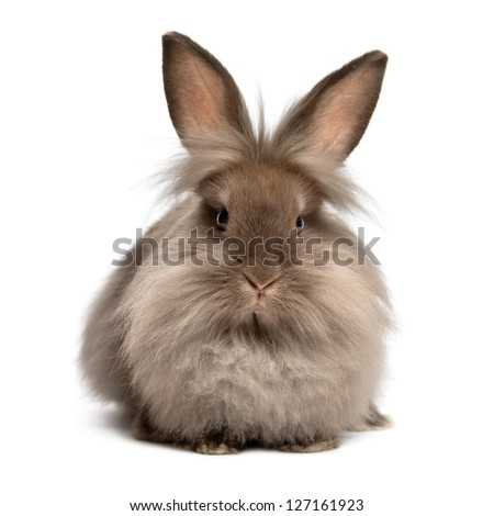 A lying chocolate colored lionhead bunny rabbit, isolated on white background - stock photo