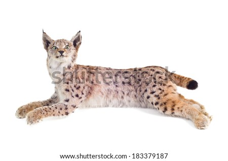 a lynx, isolated on white - stock photo
