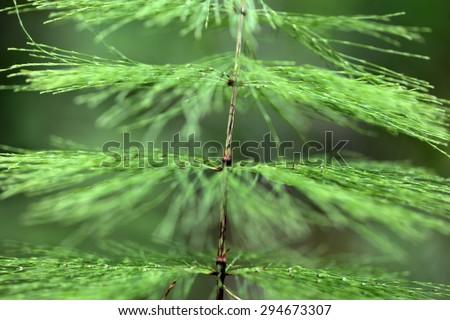 A macro photo of Wood Horsetail (Equisetum sylvaticum). - stock photo