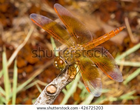 A Macro Photography Shot of Red Dragonfly standing on Dried Branch of Tree wingspan during afternoon time in Bangkok Public Park. - stock photo