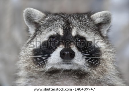 A macro portrait of a raccoon with wet black nose. - stock photo