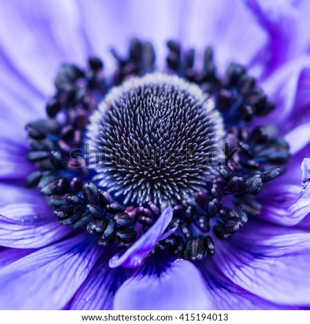 A macro shot of a blue anemone bloom. - stock photo