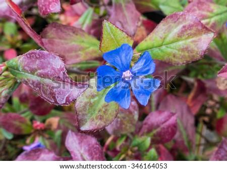 A macro shot of a bright blue plumbago bloom. - stock photo