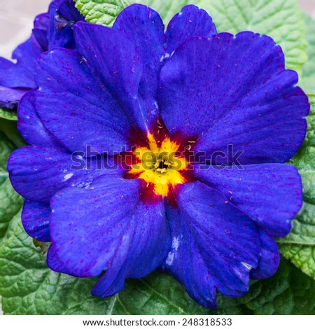A macro shot of a bright blue primula. - stock photo