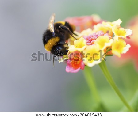 A macro shot of a bumblebee collecting pollen from a butterfly bush. - stock photo