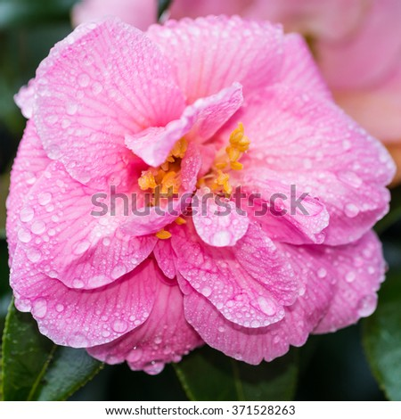 A macro shot of a camellia bloom covered in raindrops. - stock photo