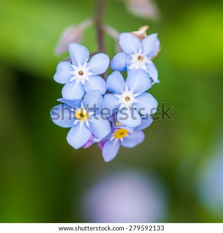 A macro shot of a collection of forget me not blooms. - stock photo