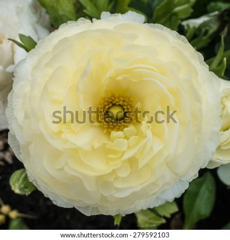 A macro shot of a creamy coloured ranunculus bloom. - stock photo