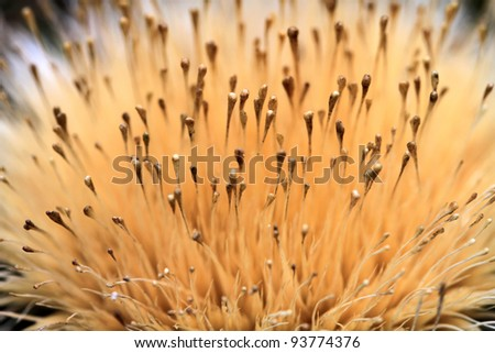A macro shot of a dandelion.Close up. - stock photo