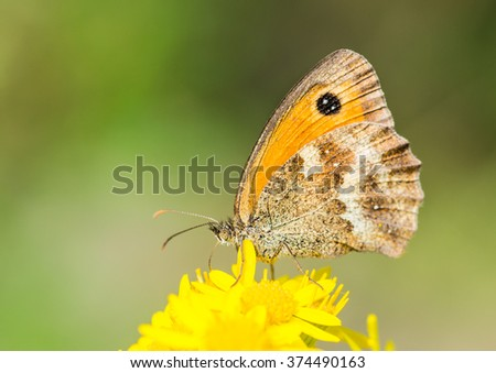 A macro shot of a gatekeeper butterfly sitting on some yellow ragwort blooms. - stock photo