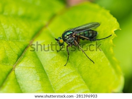 A macro shot of a green eyed fly sitting on a green leaf. - stock photo