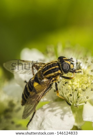 A macro shot of a hoverfly sitting on a white flower - stock photo