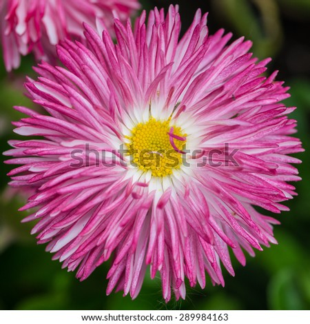 A macro shot of a pink bellis bloom. - stock photo
