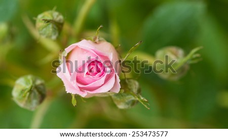 A macro shot of a pink patio rose surrounded by rosebuds. - stock photo