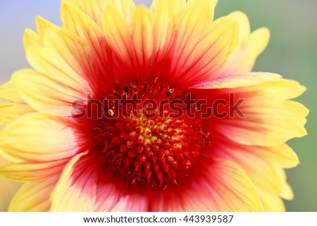 A macro shot of a pink wild dahlia bloom - stock photo