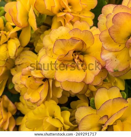 A macro shot of a pretty primula bloom. - stock photo