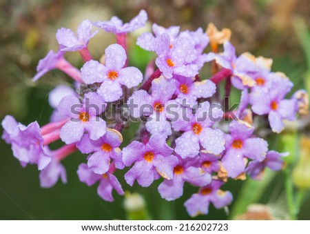A macro shot of a purple coloured butterfly bush bloom covered in dewdrops. - stock photo