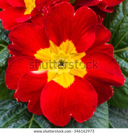 A macro shot of a red primrose bloom. - stock photo