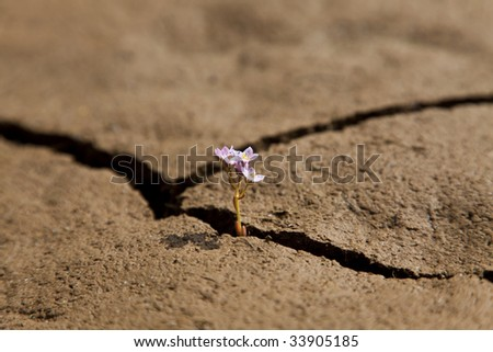 A macro shot of a small flower growing out of a crack in dry earth. - stock photo