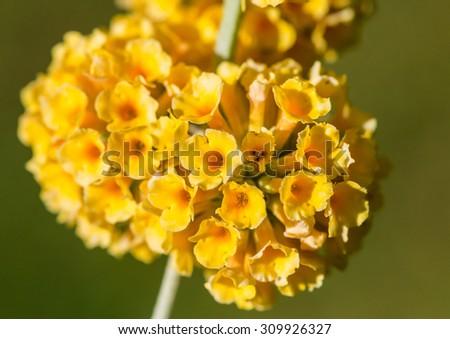 A macro shot of a yellow butterfly bush bloom. - stock photo