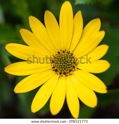 A macro shot of a yellow osteospermum bloom. - stock photo