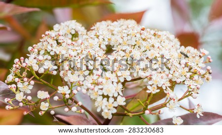 A macro shot of blossom from a red robin bush. - stock photo
