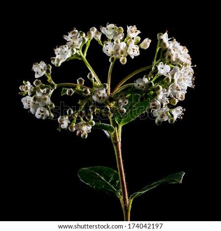 A macro shot of some white viburnum bush bloom shot against a black background. - stock photo