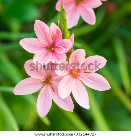 A macro shot of the pink blooms of a schizostylis coccinea plant. - stock photo